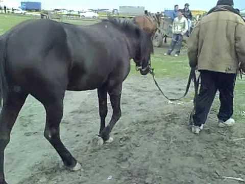 32 Horse walk Kabali