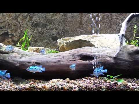 Electric Blue Jack Dempsey Aquarium