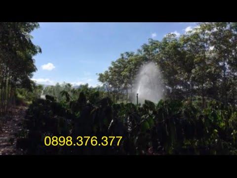 Béc AX32 tưới cà phê xen cao su tại Đắk Lắk