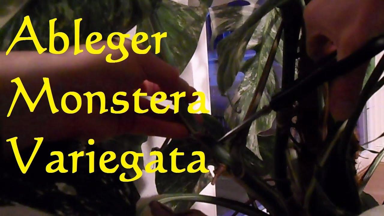 monstera deliciosa variegata vermehren steckling ableger machen rooting a monstera deliciosa