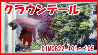 高知熱帯魚サービス クラウンテールベタ 01M0622 101~105 thumbnail