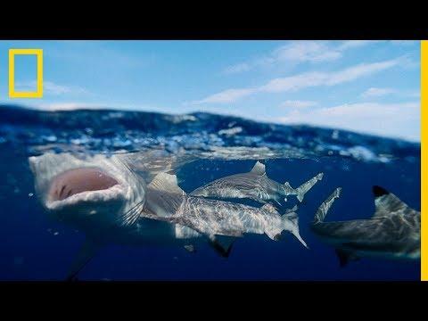 Tiburón SARDA GIGANTE devora TIBURÓN PUNTA NEGRA| National Geographic en Español