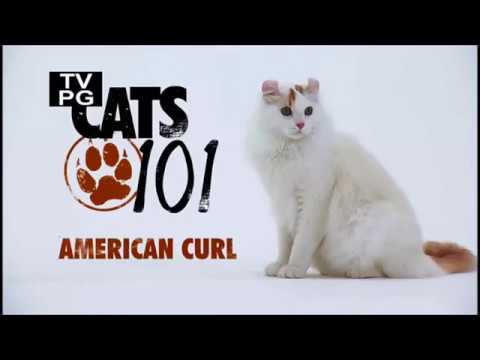 Американский кёрл 101kote.ru American curl 101cats