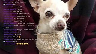 Apple Head Chihuahua Wearing A Turtle Neck Riding Boosted Board