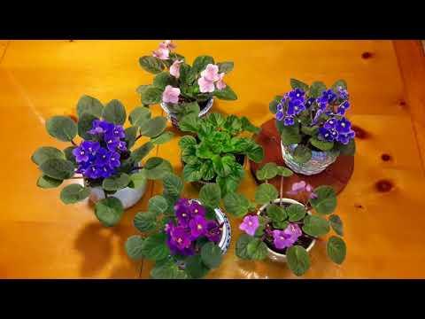 아프리칸 바이올렛 키우기 (Caring for African Violets)