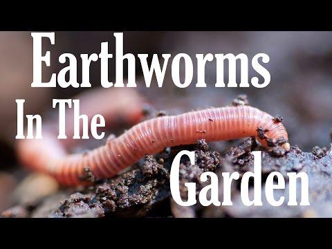 How Earthworms Help Your Garden: Gardening Know How's 2 Minute Gardening Tidbit: Episode 6