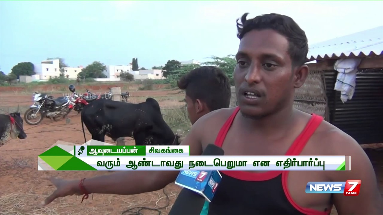 Bulls Being Trained For Jallikattu Ahead Of Pongal Despite Ban News Tamil