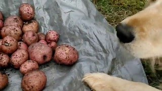 Red Pontiac potato harvest from container. 2016.