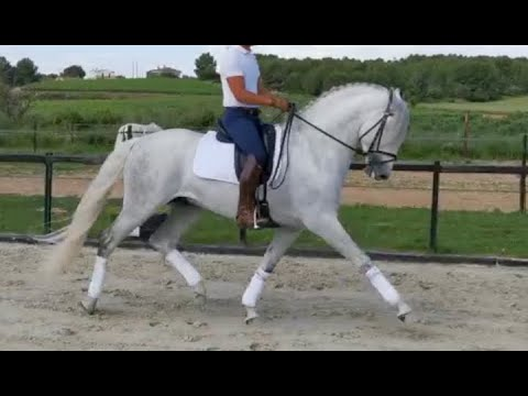 BULOSO 2015 , PRE - ANDALUSIAN Dressage Stallion , May 2020 Video