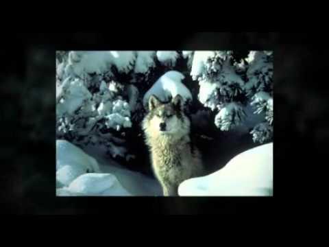 Gray Wolf by Elise Levin-Guracar