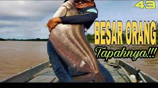 Ikan Tapah Besar Sungai Muar #ikantapah #tapahgergasi #ikantapahsungaimuar #tajur #rivermonster