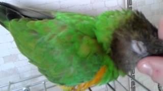 Сенегальский попугай Гриня