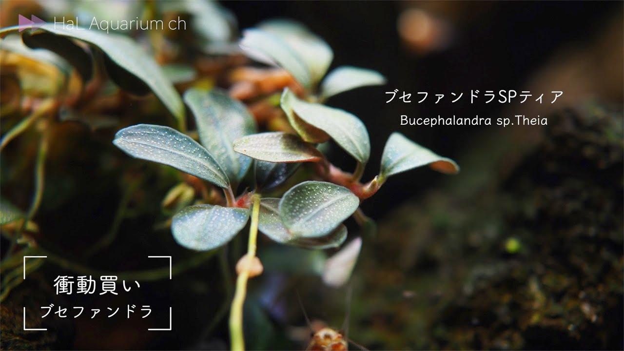 """【アクアリウム】#35""""レッドテトラとブセファンドラ""""【初心者】"""