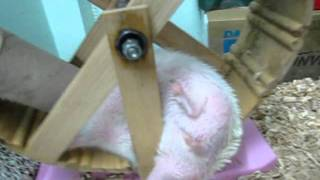 hedgedog play paper roll on wheel ^ ^