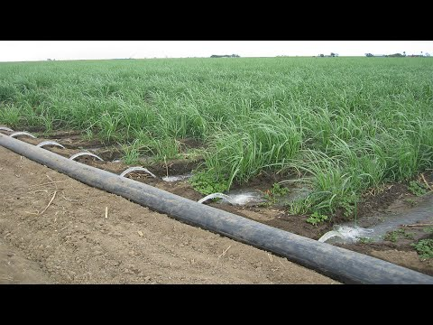 Sugarcane Drip irrigation system- Low Cost  #Shorts