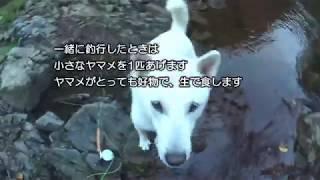 フライフィッシング犬として修行中の菊丸(紀州犬7歳)と今シーズン最後...