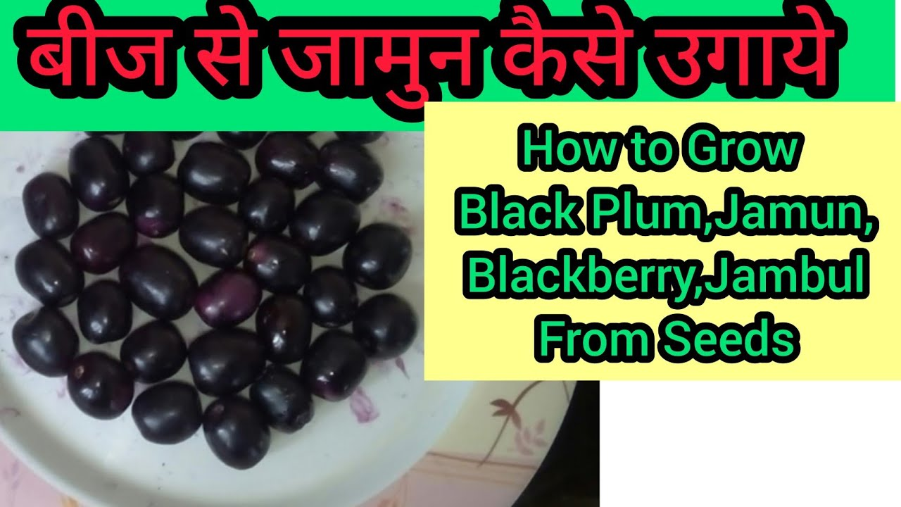 Dont Throw Seeds of Jamun They are More Valubale Than You Thought in Hindi