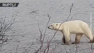 Hungry polar bear wandering in Siberian city