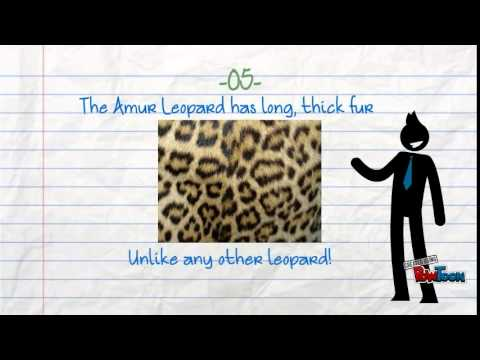 7 interesting Amur Leopard Facts