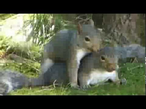 Squirrels Mating - YouTube