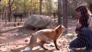 Дикие животные, лиса выпрашивает еду