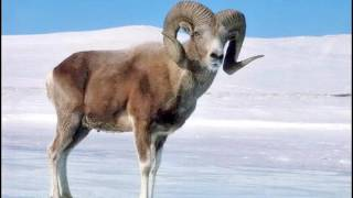 Редкие виды животных , обитающие в Республике Алтай (Adilet)