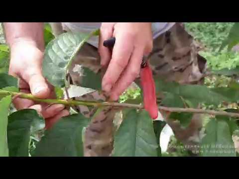 Как готовить черенки для окулировки