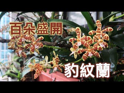 幾百朵滿開 !!一次來花 爆開的蘭花 !!  夏初的大型蘭花 有豹紋的豹紋蘭 Staurochilus luchuensis