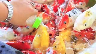 ปลากินนมจากขวด ปลาดูดนม ปลาแย่งกันดูด