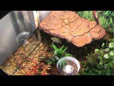beautiful 3 baby red ear slider turtles and fish tank