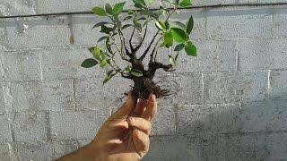 Cómo hacer un mini bonsai (mame)
