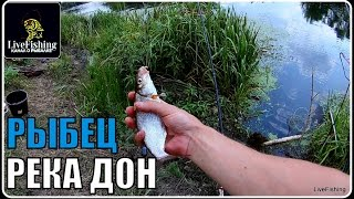 Ловля рыбца на фидер.  Река Дон. (LiveFishing)
