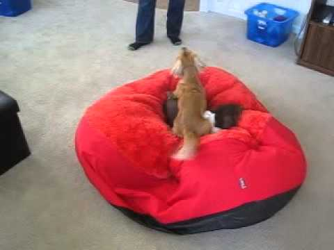 Dachshund dog playing on beanbag