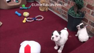 Little Rascals Striking Litter Of French Bulldog Puppies