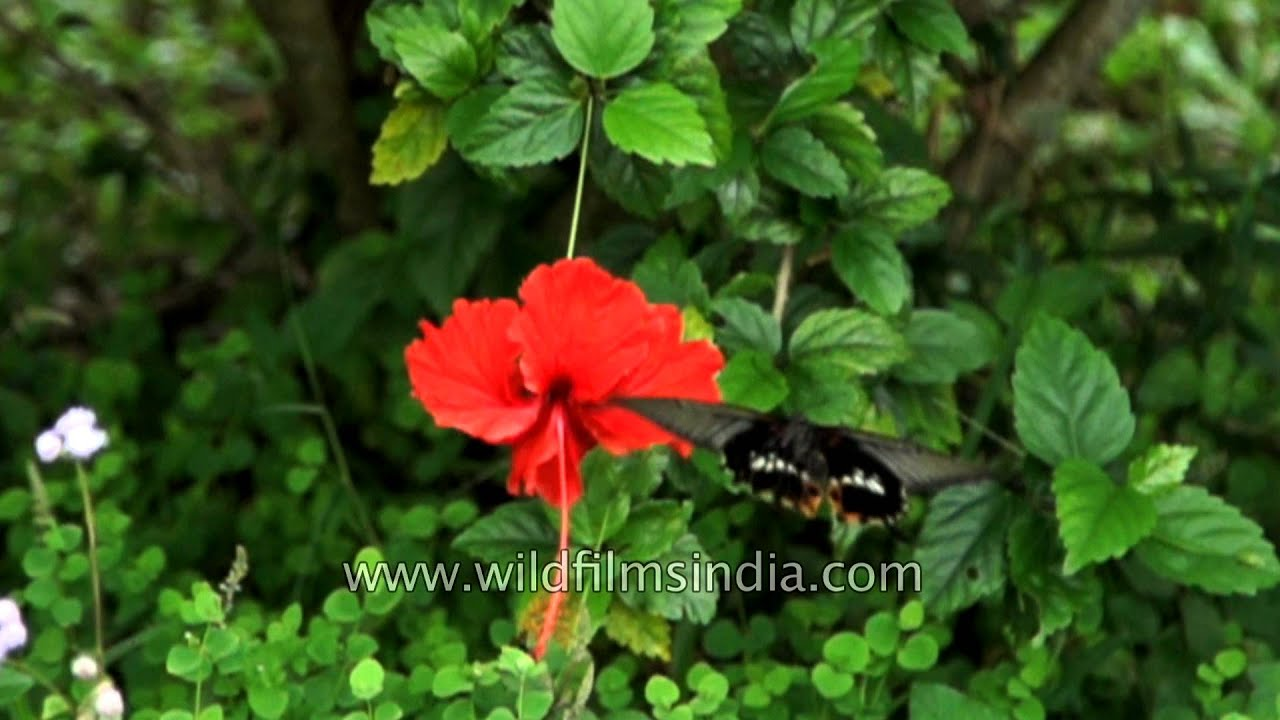 Hibiscus flower hosts a beautiful redbreast butterfly in hibiscus flower hosts a beautiful redbreast butterfly in cherrapunjee izmirmasajfo Choice Image