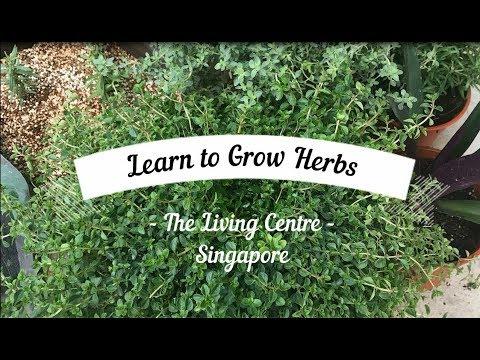 Learn to Grow Herbs in Singapore. Urban Farming