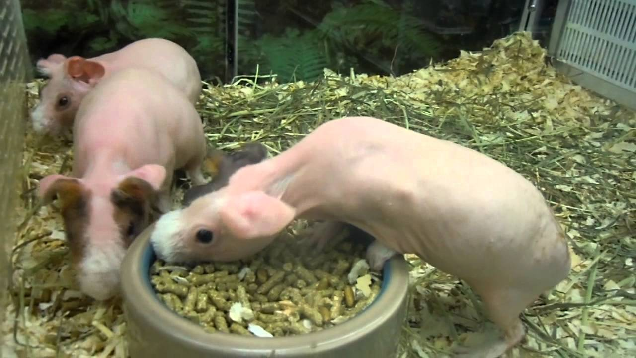 images of naked guinea pigs
