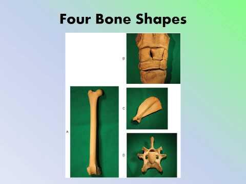 MBC Vet Tech Online Review 2.2 - The Skeletal System
