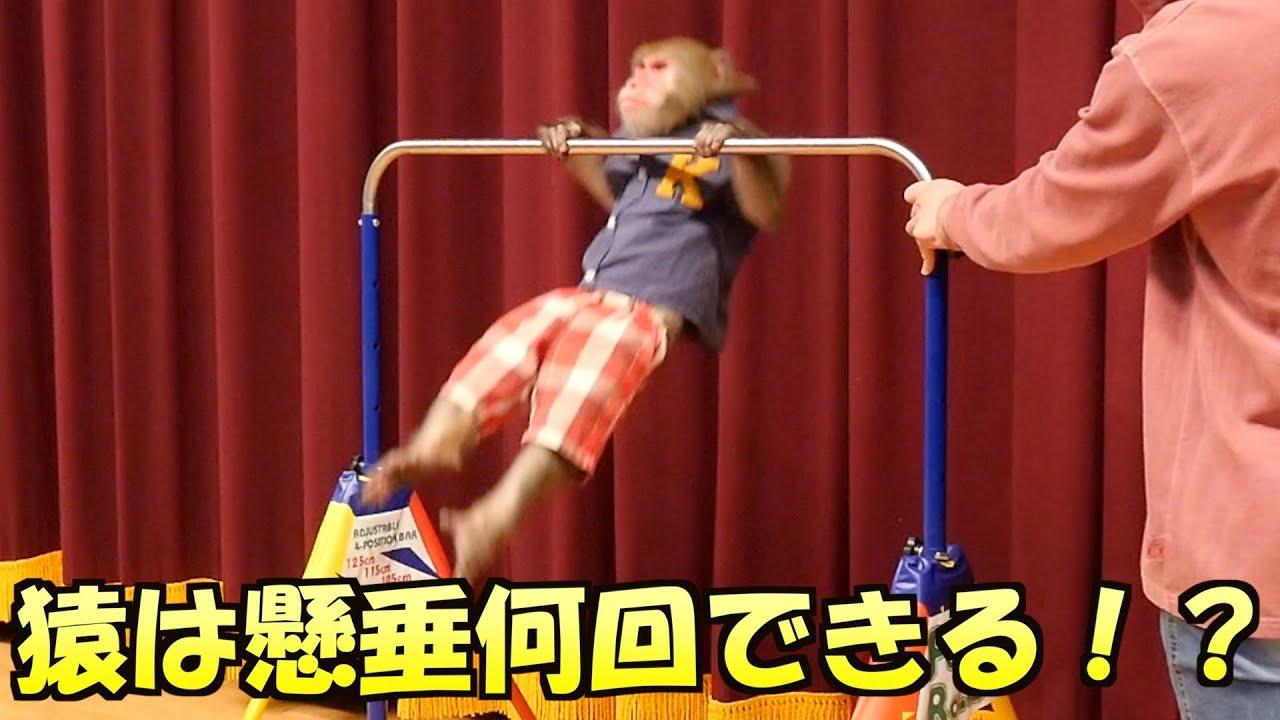 【すごい記録が!?】お猿さんは懸垂を何回できるか挑戦したよ!!