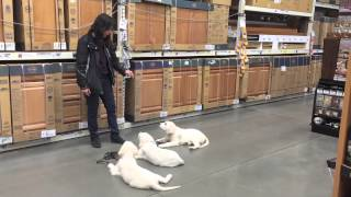 14 Week Old English Cream Golden Retrievers In Home Depot