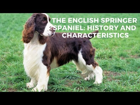 The English Springer Spaniel: History And Characteristics