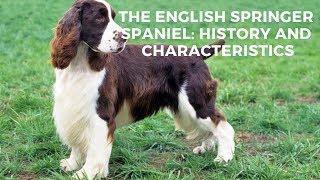 The English Springer Spaniel: History And Characteristics