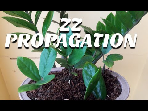 How to Propagate ZZ plant or welcome plant, easy indoor plant