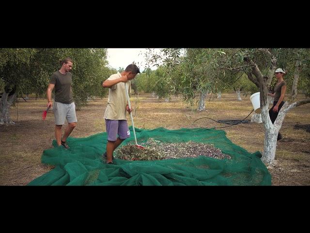 Ammothines - Παραδοσιακή Ελαιοσυγκομιδή