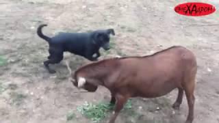 Собака против козы. Прикол. Веселое видео
