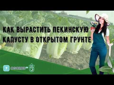 Как вырастить пекинскую капусту в открытом грунте