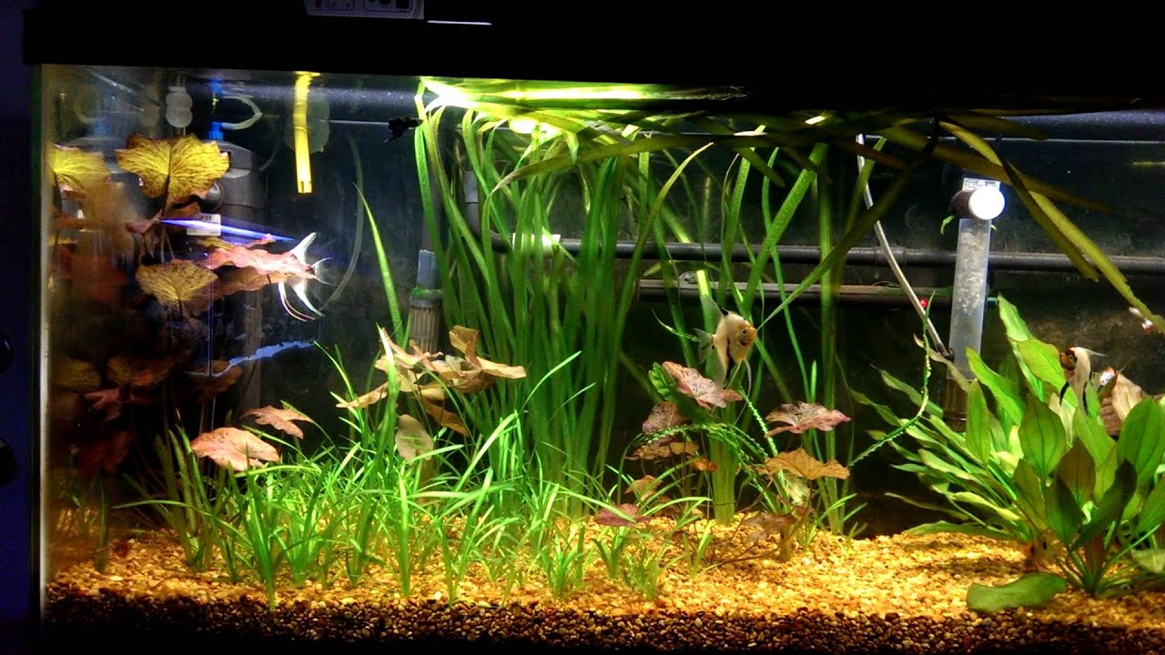 55 gallon angelfish aquarium youtube for 55 gallon fish tank for sale