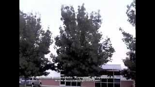 Fraxinus angustifolia