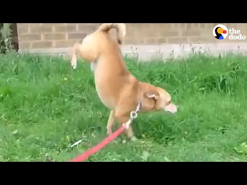 Dogs Do Handstands To Pee   The Dodo