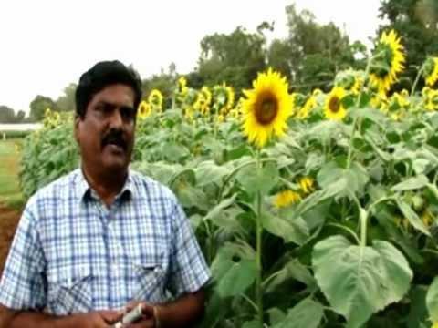 Sunflower in India